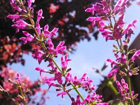 Purple Robe Locust limbs in front of plum tree.